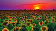 sunflower.field
