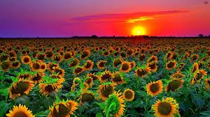 sunflower.field